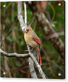 Acrylic Print featuring the photograph Cardinal by Cathy Harper