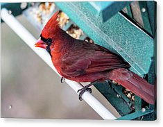 Cardinal Close Up Acrylic Print