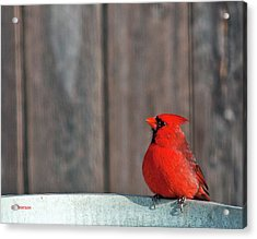 Acrylic Print featuring the photograph Cardinal Drinking by Edward Peterson