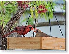 Cardinal Feeding  Acrylic Print