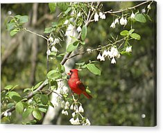 Cardinal Acrylic Print by Gregory Letts