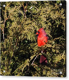 Acrylic Print featuring the photograph Cardinal I by Michelle Wiarda
