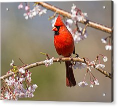 Acrylic Print featuring the photograph Cardinal In Cherry by Angel Cher