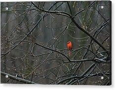 Cardinal In End Of Winter Rain Acrylic Print by James Oppenheim