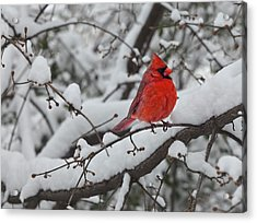 Cardinal In The Snow 1 Acrylic Print