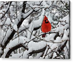 Cardinal In The Snow 2 Acrylic Print