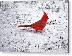 Cardinal In The Snow Acrylic Print by Suzanne Stout