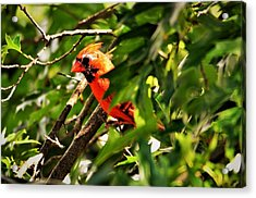 Cardinal In Tree Acrylic Print