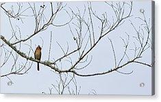 Acrylic Print featuring the photograph Cardinal In Tree by Richard Rizzo