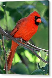 Cardinal Acrylic Print by Juergen Roth
