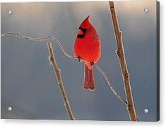 Cardinal Acrylic Print by Mike Martin