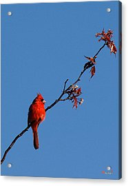 Acrylic Print featuring the photograph Cardinal On A Cherry Branch Dsb033 by Gerry Gantt