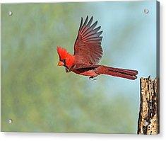 Cardinal On A Mission Acrylic Print