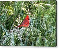Cardinal On Ice Acrylic Print by John Freidenberg