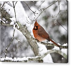 Cardinal On Snowy Branch Acrylic Print by Rob Travis
