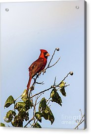Acrylic Print featuring the photograph Cardinal On Treetop by Robert Frederick