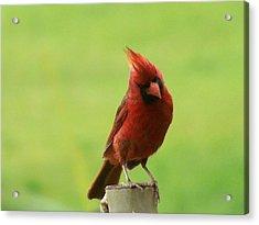 Cardinal Acrylic Print by ShadowWalker RavenEyes Dibler
