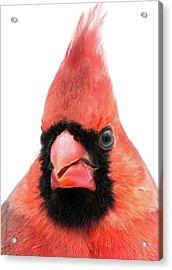 Acrylic Print featuring the photograph Cardinal Up Close by Jim Hughes
