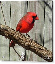 Cardinal Waiting For Spring Acrylic Print