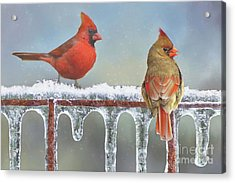 Cardinals And Icicles Acrylic Print