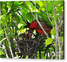 Cardinals Chowtime Acrylic Print by Al Powell Photography USA