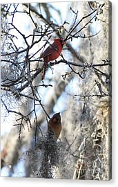 Cardinals In Mossy Tree Acrylic Print