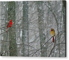 Cardinals In Snow Acrylic Print by Serina Wells