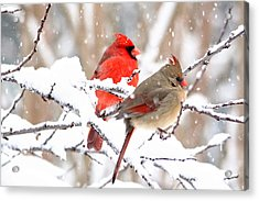 Cardinals In The Winter Acrylic Print