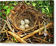 Brown Thrasher Nest And Eggs Acrylic Print by Bellesouth Studio
