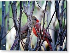 Cardinals Pair Acrylic Print