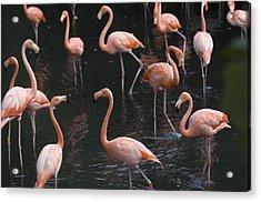 Caribbean Flamingoes At The Sedgwick Acrylic Print by Joel Sartore