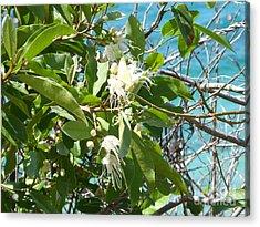 Caribbean Honeysuckle Acrylic Print