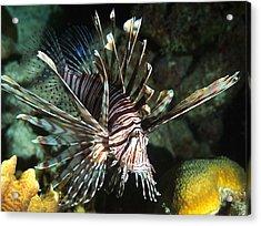 Caribbean Lion Fish Acrylic Print