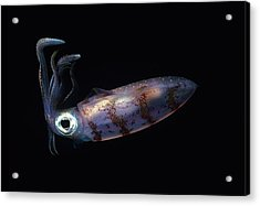 Caribbean Reef Squid At Night Acrylic Print