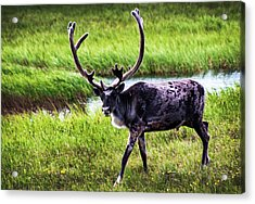 Acrylic Print featuring the photograph Caribou by Anthony Jones