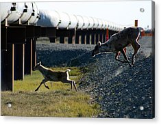 Caribou Cow And Fawn Acrylic Print by Anthony Jones