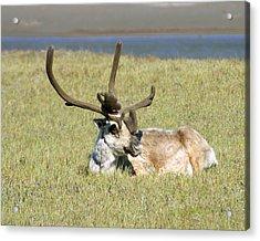 Caribou Rest Acrylic Print by Anthony Jones