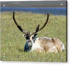 Caribou Resting In Tundra Grass Acrylic Print by Anthony Jones