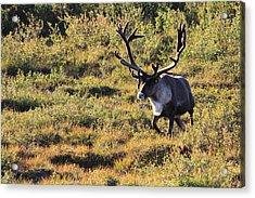 Caribou Running Acrylic Print