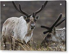 Caribou Acrylic Print by Tim Grams