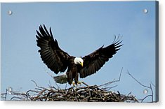 Cape Vincent Eagle Acrylic Print