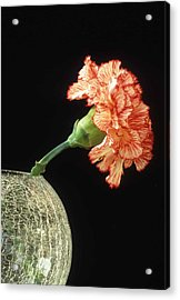 Carnation Acrylic Print by Laurie Paci