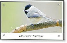 Carolina Chickadee, Animal Portrait Acrylic Print