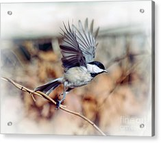 Carolina Chickadee - Come Fly With Me  Acrylic Print
