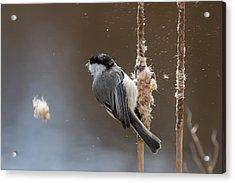 Carolina Chickadee Feeding On Cattail Acrylic Print