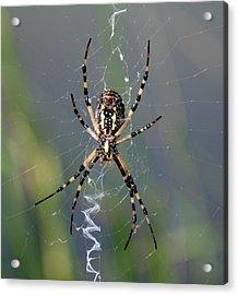 Carolina Garden Spider Acrylic Print by Bruce W Krucke