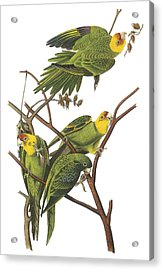 Carolina Parakeet Acrylic Print by John James Audubon