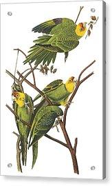 Carolina Parakeet Acrylic Print by John James Audubon