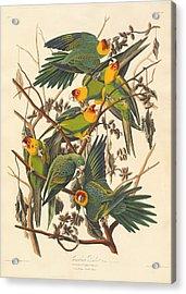 Carolina Parrot Acrylic Print by Rob Dreyer