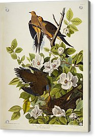 Carolina Turtledove Acrylic Print by John James Audubon